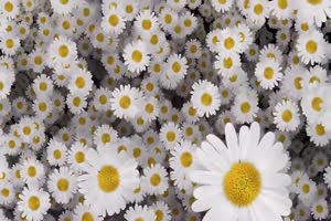 白菊花 花朵 飘落 绿屏抠像素材