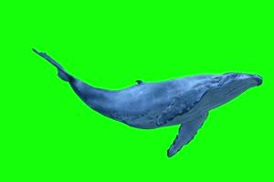 鲸鱼 鲲 带声音 超清 绿屏素材 关注公众号 特效